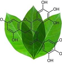 اپی گالوکاتچین گالات (EGCG) چای سبز از ابتلا به ابولا پیشگیری می کند