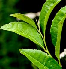 چای سبز و افزایش قدرت آنتی بیوتیک ها