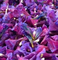 جوشانده گل گاوزبان برای چه کسانی مضر است