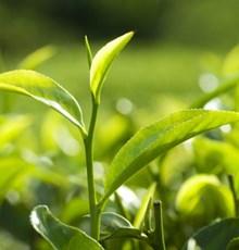 پلی فنول های چای سبز- گنجی که شفا می دهد و درمان می کند