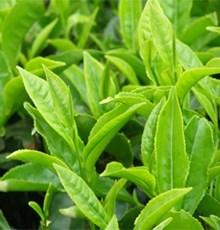 با چای سبز آلودگی هوا را از خود برانید