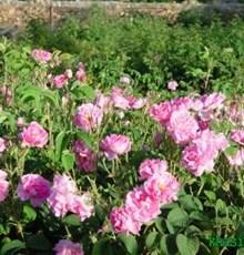 آنچه از خواص گل محمدی نمی دانید
