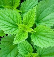 دم کرده گیاه گزنه به رفع کم خونی کمک می کند