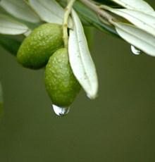 تأثیر برگ درخت زیتون بر هموستازی گلوکز و مکانیسم اثرگذاری آن در بیماران دیابتی