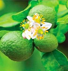 برگاموت، میوه مرکباتی مغذی شگفتانگیز