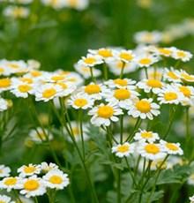 به عروس گیاهان دارویی معروف است