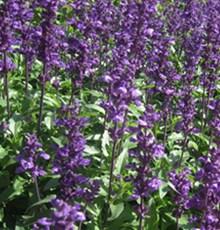 آیا گیاه مریم گلی خواص درمانی دارد؟