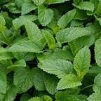 خواص سحرآمیز گیاه بادرنجبویه در درمان بیماری ها