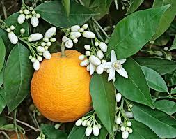 آشنایی با برخی فواید شکوفه بهار نارنج