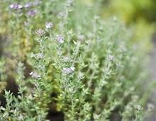 خواص گیاه آویشن چیست ؟